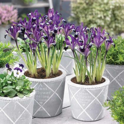 Iris Reticulata Spot On