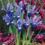 Iris Reticulata Springtime