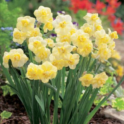 Jonquil Yellow Cheerfulness