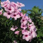 Pandorea Bob Deep Pink Lpopandpi - Garden Express Australia