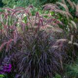 Pennisetum Dwarf Red Riding Hood Fountain Grass