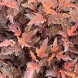 Physocarpus Nishiki Red