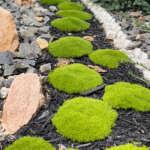 Scleranthus Biflorus Pplsclbif - Garden Express Australia
