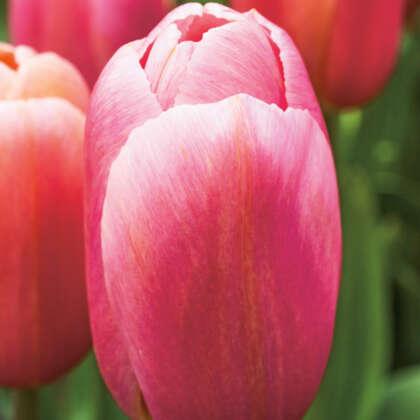 Tulip Ace Pink