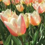 Tulip All That Jazz