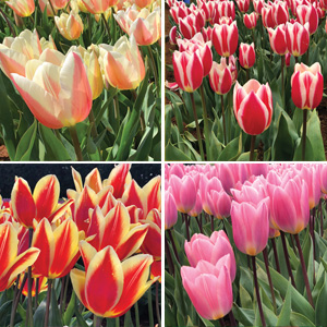 Tulip Darwin Hybrid Bi Colour Collection
