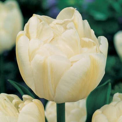 Tulip Evita