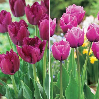 Fringed Tulip Duo