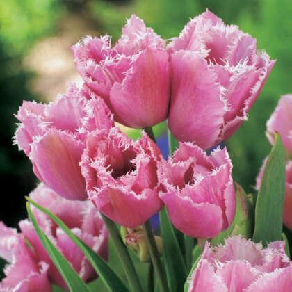 Tulip Fringed Family
