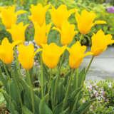 Tulip Inimitable