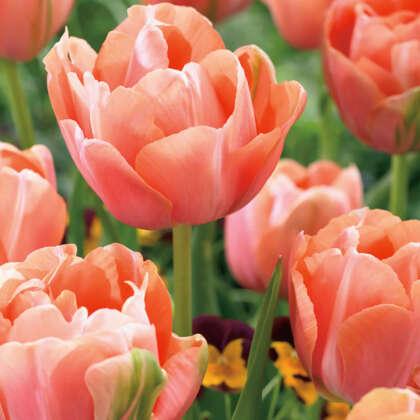 Tulip Menton Unique Pktulmun