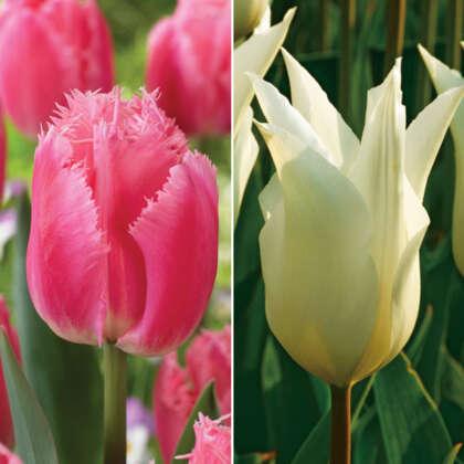 Novelty Tulip Duo