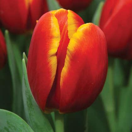 Tulip Power Play