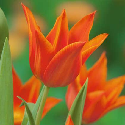 Tulip Synaeda Orange Pktulsor