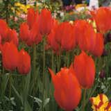 Tulip Temple Favourite