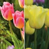 Tulip Triumph Duo