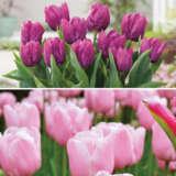 Tulip Triumph Prince Duo