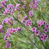 Chamelaucium Wax Flower Spring Violet
