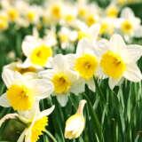 Daffodil Money Maker