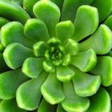 Echeveria Emerald Ripple