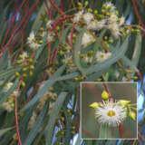 Eucalyptus Scoparia