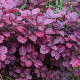 Iresine Bloodleaf Plant