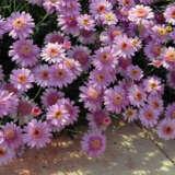 Argyranthemum Larita Rose