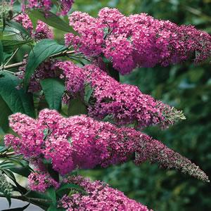 Buddleja Pink Delight