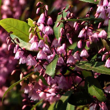 Elaeocarpus Dark Pink St 1573919953