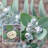 Eucalyptus Pleurocarpa