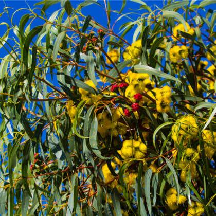 Eucalyptus Red Capped Gum