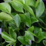 Ficus Hillii