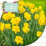 Gurus Daffodils
