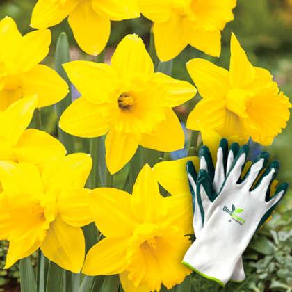 Golden Favourite Daffodils Plus Gardeners Advantage Gloves