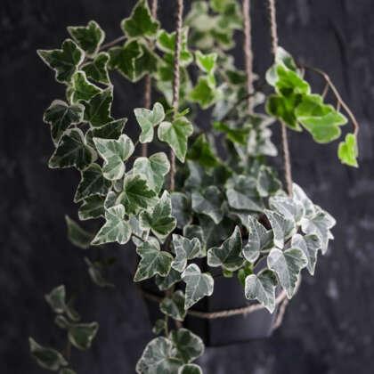 Hedera Variegated Ivy