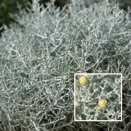 Leucophyta Silver Clouds