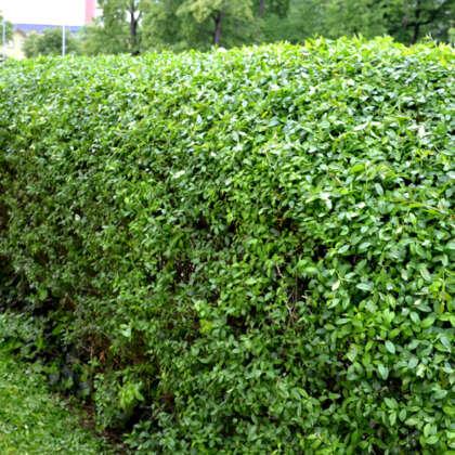 Ligustrum Buxifolium