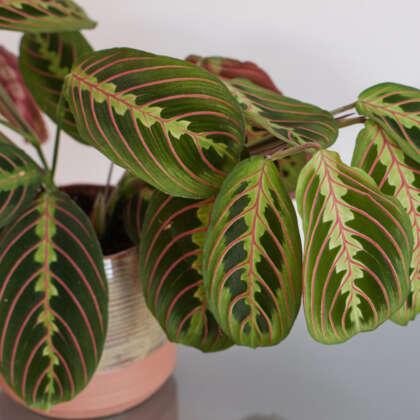 Maranta Red Veined Prayer Plant