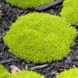 Scleranthus Lime Lava