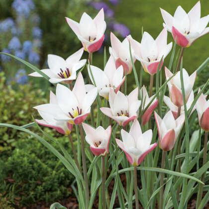 Tulip Clusiana Lady Jane