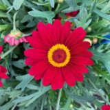 Argyranthemum Larita Scarlet