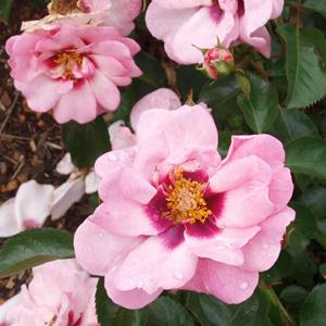 Brindabella Rose Berry Delightful