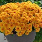 Garden Mum Chrysanthemum Songa Orange