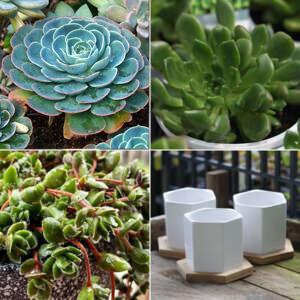 Gurus Succulent Collection 3 Plus Ceramic Pots