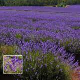 Lavender Bridestowe Jennifer (pbr)