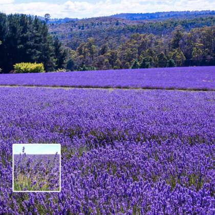 Lavender Bridestowe Philippa (pbr)