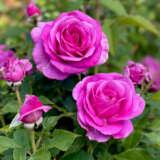 Rose Adorable