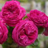 Rose Delightful Parfuma
