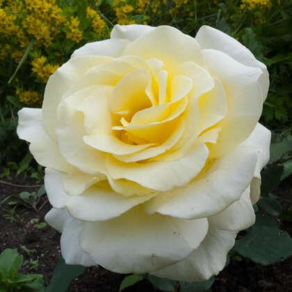 Patio Rose Elina