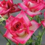 Rose Magic Show